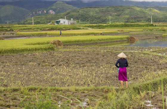 A White Thai woman joins the work to harvest the rice fields.